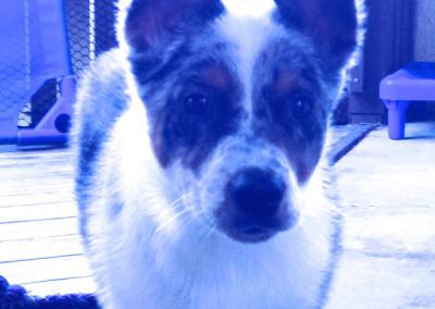 K9 Connection Pet Adoption Blue