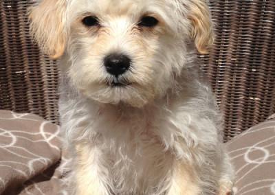 K9 Connection Pet Adoption Otis