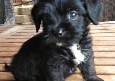 K9 Connections Pet Adoption Sasha