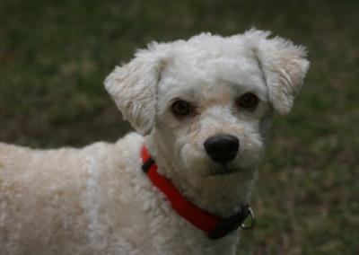 K9 Connections Pet Adoption Simon
